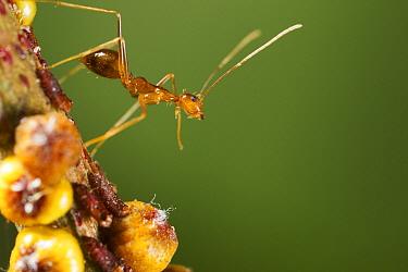 Yellow Crazy Ant (Anoplolepis gracilipes) guarding Scale Insects (Tachardina aurantiaca), Christmas Island National Park, Christmas Island, Australia  -  Stephen Belcher