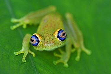 Green Bright-eyed Frog (Boophis viridis), Andasibe-Mantadia National Park, Madagascar  -  Thomas Marent