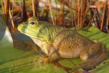 Green Frog (Rana clamitans), Nova Scotia, Canada  -  Scott Leslie