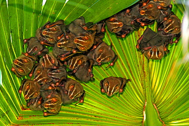 Peters' Tent-making Bat (Uroderma bilobatum) group roosting, native to South and Central America  -  Christian Ziegler