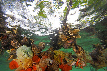 Diverse sponge community with oysters and other invertebrates growing on red mangrove roots, Bastimentos National Marine Park, Bocas del Toro, Panama  -  Christian Ziegler