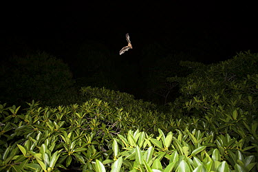 Jamaican Fruit-eating Bat (Artibeus jamaicensis) flying over fruiting fig tree to find food, Panama City, Panama  -  Christian Ziegler