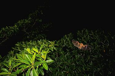Jamaican Fruit-eating Bat (Artibeus jamaicensis) foraging in crown of fig tree, Panama City, Panama  -  Christian Ziegler
