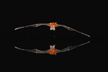 Greater Bulldog Bat (Noctilio leporinus) hunting at night, Panama  -  Christian Ziegler