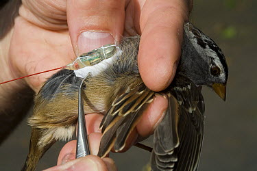 White-crowned Sparrow (Zonotrichia leucophrys) being fitted with telemetry transmitter, this bird has been relocated from Washington to New Jersey to learn about bird migration, New Jersey  -  Christian Ziegler