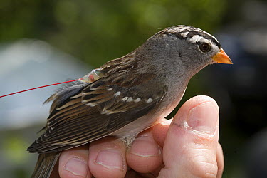 White-crowned Sparrow (Zonotrichia leucophrys) with telemetry transmitter, this bird has been relocated from Washington to New Jersey to learn about bird migration, New Jersey  -  Christian Ziegler