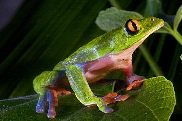 Blue-sided Leaf Frog (Agalychnis annae), San Jose, Costa Rica  -  Christian Ziegler