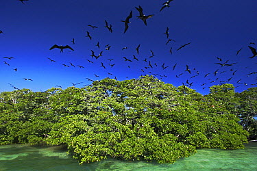 Magnificent Frigatebird (Fregata magnificens) breeding colony on small mangrove island, Carrie Bow Cay, Belize  -  Christian Ziegler