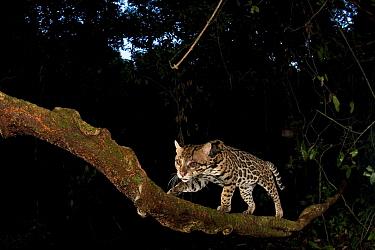 Ocelot (Leopardus pardalis) walking up branch, Barro Colorado Island, Panama  -  Christian Ziegler