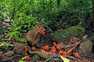 Agouti (Dasyprocta punctata) feeding on freshly fallen palm fruit, Barro Colorado Island, Panama  -  Christian Ziegler