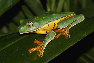 Splendid Leaf Frog (Agalychnis calcarifer), Costa Rica  -  Hiroya Minakuchi