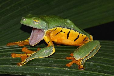 Splendid Leaf Frog (Agalychnis calcarifer) in defensive posture, Costa Rica  -  Hiroya Minakuchi