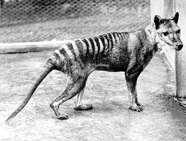 Tasmanian Tiger (Thylacinus cynocephalus) last captive individual, the species is now extinct, Australia  -  WWF / Australian Info Service/ B