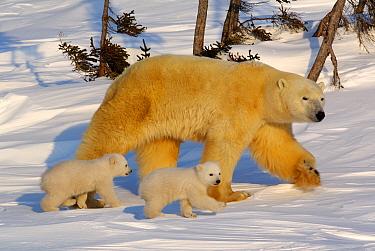 Polar Bear (Ursus maritimus) mother and cubs in taiga, Canada  -  Klein and Hubert