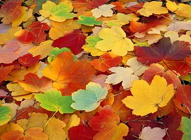 Italian Maple (Acer opalus) leaves in autumn color  -  Jose Antonio Martinez/ Biosphoto