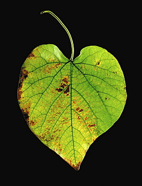 Pipevine (Aristolochia macrophylla) leaf  -  Gilles Mermet/ Biosphoto