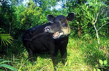 Baird's Tapir (Tapirus bairdii) in defensive posture  -  Klein and Hubert