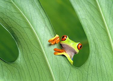 Red-eyed Tree Frog (Agalychnis callidryas)  -  Klein and Hubert