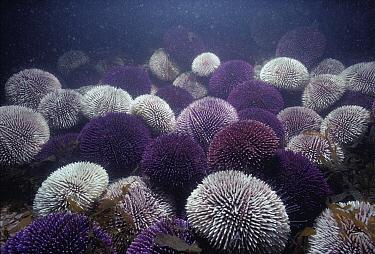 European Edible Sea Urchin (Echinus esculentus) colony feeding on algae, France  -  Jeffrey Rotman/ Biosphoto