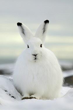 Arctic Hare (Lepus arcticus), Manitoba, Canada  -  Klein and Hubert