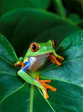 Red-eyed Tree Frog (Agalychnis callidryas) on leaf  -  Klein and Hubert