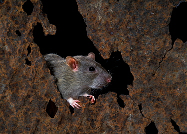 Brown Rat (Rattus norvegicus) on rusty iron  -  Klein and Hubert