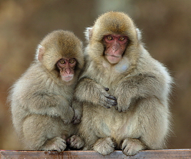 Japanese Macaque (Macaca fuscata) juveniles sitting on pole, Japan  -  Klein and Hubert