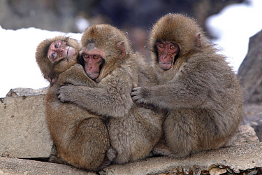 Japanese Macaque (Macaca fuscata) young hugging to keep warm, Japan  -  Klein and Hubert