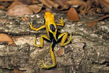 Dyeing Poison Frog (Dendrobates tinctorius) with an extra leg, French Guiana  -  David Massemin/ Biosphoto