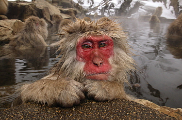 Japanese Macaque (Macaca fuscata) in hot spring, Japan  -  Klein and Hubert