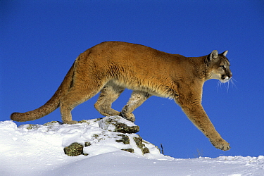 Mountain Lion (Puma concolor) in snow, North America  -  Klein and Hubert