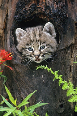 Bobcat (Lynx rufus) kitten looking out from hollow tree trunk, Rocky Mountains, North America  -  Klein and Hubert