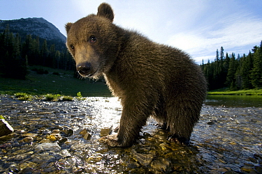 Grizzly Bear (Ursus arctos horribilis) six month old cub in river, North America  -  Klein and Hubert