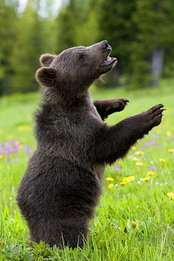 Grizzly Bear (Ursus arctos horribilis) six month old cub standing in meadow, North America  -  Klein and Hubert
