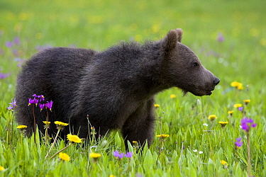 Grizzly Bear (Ursus arctos horribilis) cub in flowering meadow, North America  -  Klein and Hubert