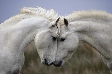 Camargue Horse (Equus caballus) stallions facing off, France  -  Klein and Hubert
