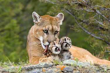 Mountain Lion (Puma concolor) female licking cubs, North America  -  Klein and Hubert