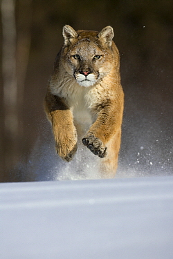Mountain Lion (Puma concolor) running in snow, North America  -  Klein and Hubert