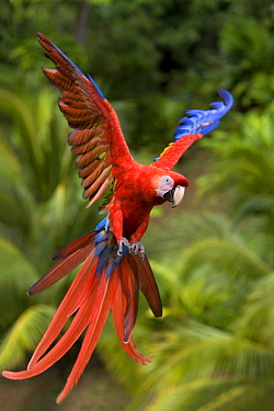 Scarlet Macaw (Ara macao) flying, Central America  -  Klein and Hubert