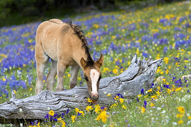 Mustang (Equus caballus) foal eating flowers in meadow  -  Klein and Hubert