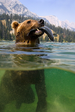 Grizzly Bear (Ursus arctos horribilis) carrying trout in mountain lake, Rocky Mountains, North America  -  Klein and Hubert