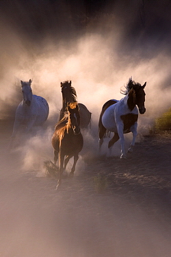 Mustang (Equus caballus) stallions galloping  -  Klein and Hubert