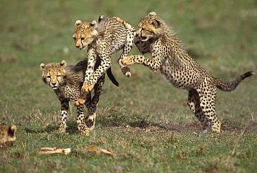 Cheetah (Acinonyx jubatus) cubs playing, Masai Mara, Kenya  -  Michel & Christine Denis-Huot/ B