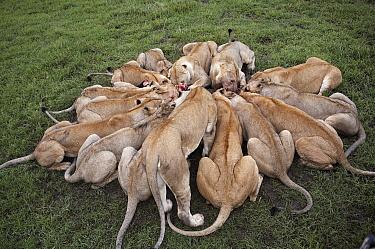 African Lion (Panthera leo) pride feeding, Masai Mara, Kenya  -  Michel & Christine Denis-Huot/ B
