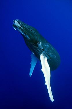 Humpback Whale (Megaptera novaeangliae) calf, French Polynesia  -  Klein and Hubert
