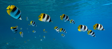Pacific Double-saddle Butterflyfish (Chaetodon ulietensis) school, French Polynesia  -  Klein and Hubert