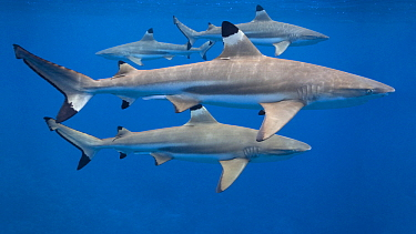 Black-tip Reef Shark (Carcharhinus melanopterus) group, French Polynesia  -  Klein and Hubert