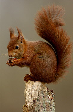 Eurasian Red Squirrel (Sciurus vulgaris) eating hazelnut, France  -  Robin Monchatre/ Biosphoto