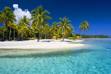 Coconut Palm (Cocos nucifera) trees along lagoon, French Polynesia  -  Klein and Hubert