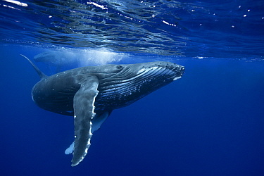 Humpback Whale (Megaptera novaeangliae) swimming near surface, French Polynesia  -  Klein and Hubert